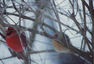 Cardinal mates on a very cold winter morning.